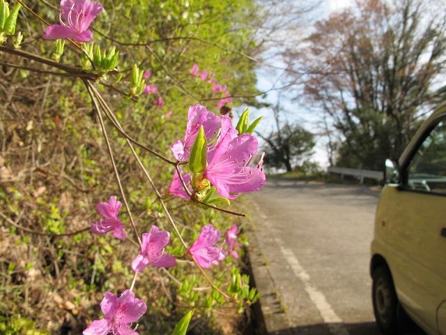 灰ヶ峰の桜1