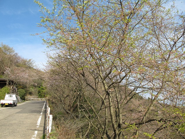 灰ヶ峰の桜2