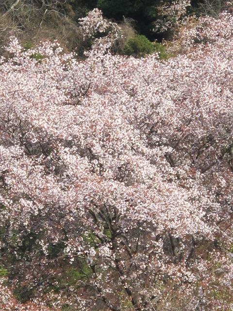 灰ヶ峰の桜3