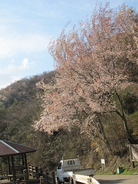 灰ヶ峰の桜4