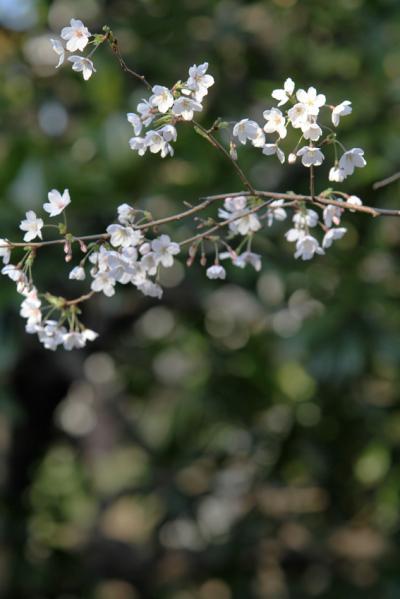 2012桜6_convert_20120414173928