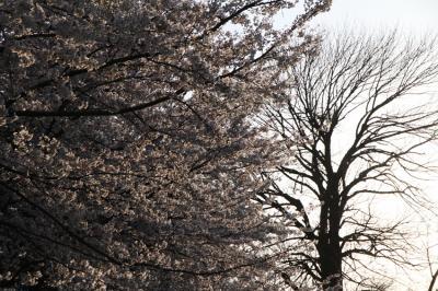 2012桜4_convert_20120414173828
