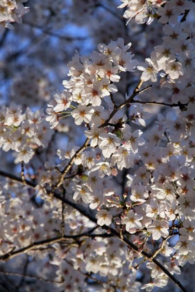 2012桜3_convert_20120414173759