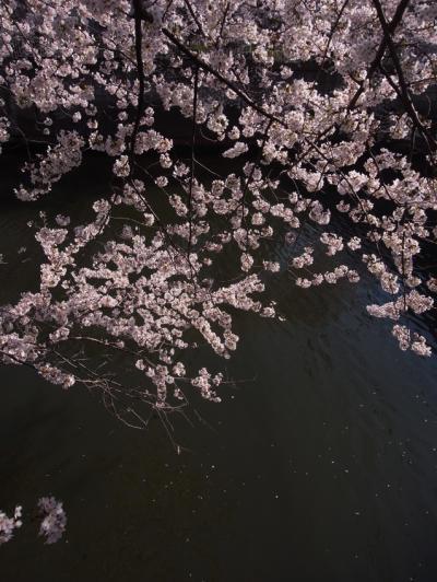 目黒川桜2_convert_20120414174049