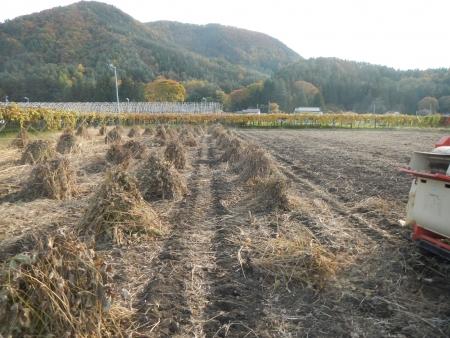 大豆の脱粒作業 (2)