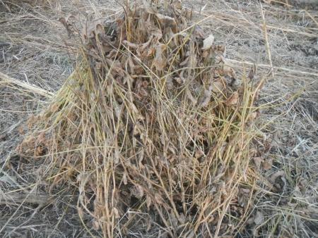 大豆の脱粒作業 (5)