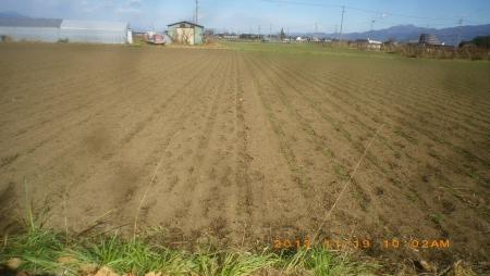 麦畑 (1)