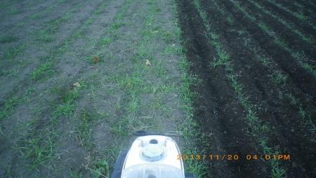 麦畑除草作業 (7)