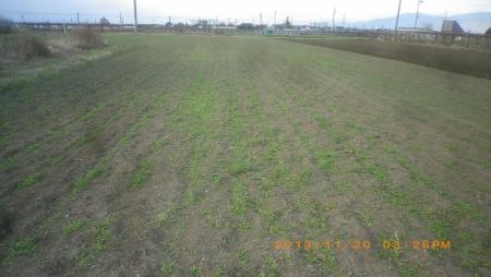 麦畑除草作業 (6)