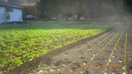 麦畑除草作業 (4)