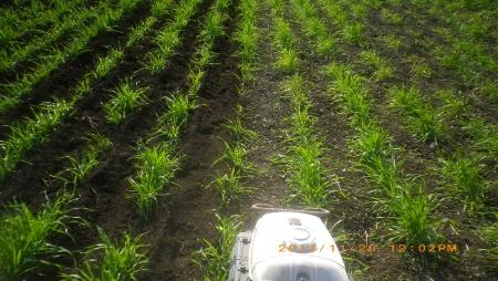 麦畑除草作業 (2)