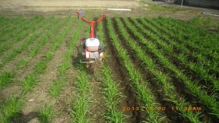 麦畑除草作業 (1)