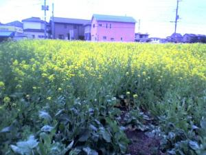 nanohana-2012-fujimino