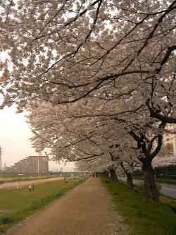 sakura-2012-001