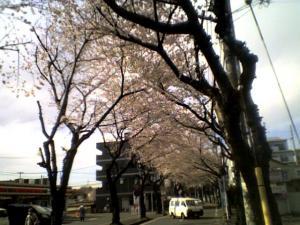 sakura-2012-fujimino