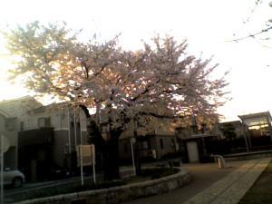 sakura-2012-kinjo