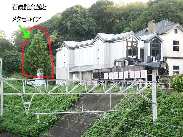 直方市多賀神社のメタセコイア