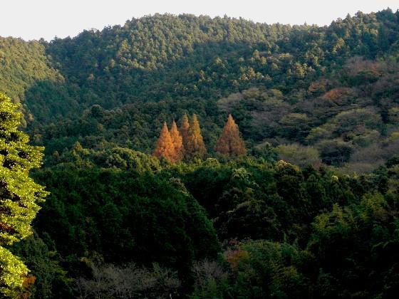 福岡県鞍手町・六ヶ岳のメタセコイア