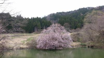 鏡桜20130424_110640(0) (400x225)