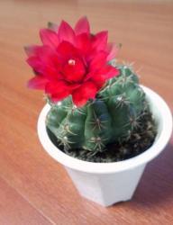 2013年6月サボテンの花1
