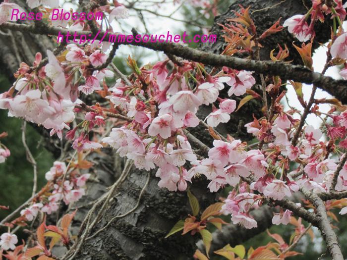 kansakura201103201.jpg