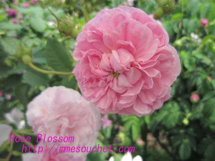 oldrose20100525.jpg