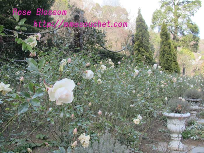 rose20110130.jpg