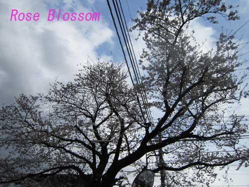 sakura201003261.jpg