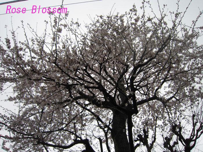 sakura20100405.jpg