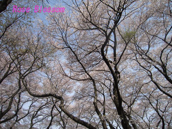 sakura20100406.jpg