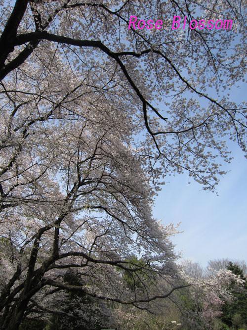 sakura201004061.jpg
