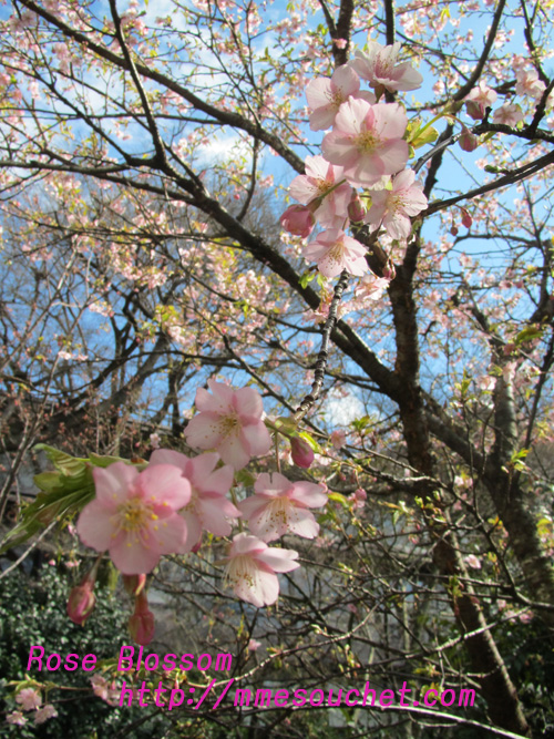 sakura201102181.jpg