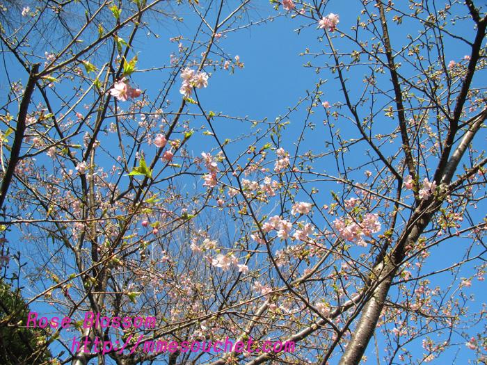 sakura201102183.jpg