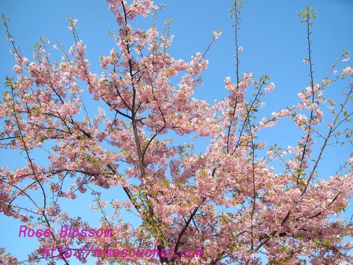 sakura20110227.jpg