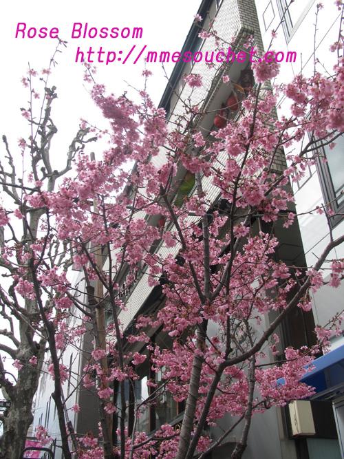 sakura20110316.jpg