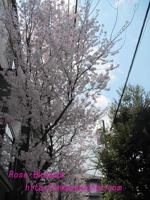 sakura201103311.jpg