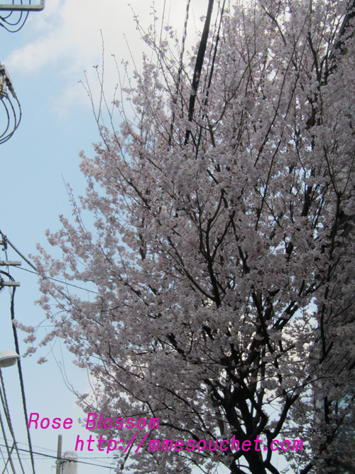 sakura201103312.jpg