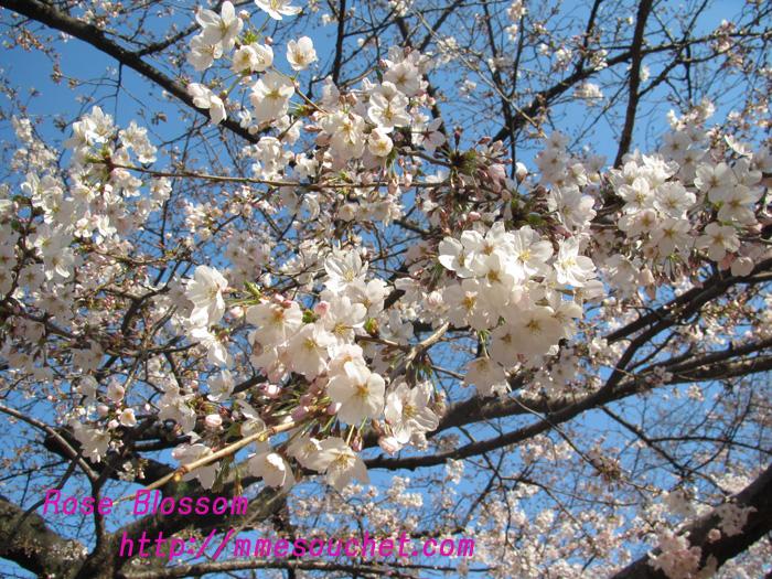 sakura201104072.jpg