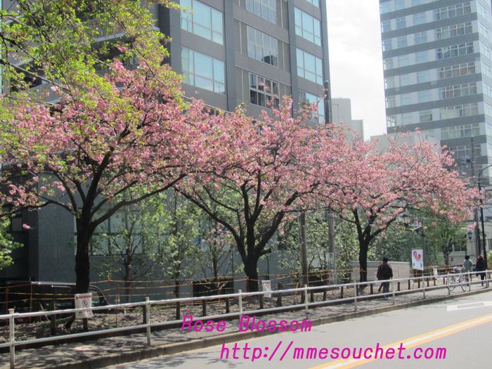 sakura201104201.jpg