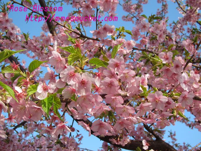 sakuraup20110227.jpg