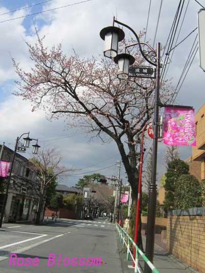 seijyousakura20100326.jpg