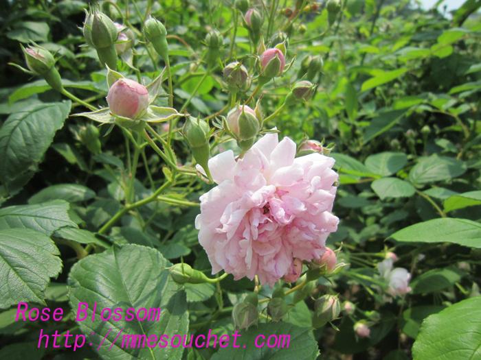 sevenrose20100525.jpg