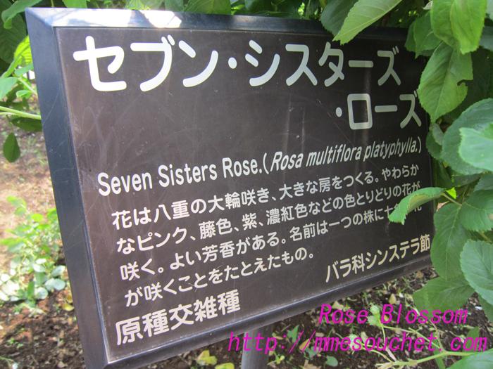sevensisterrose20100525.jpg