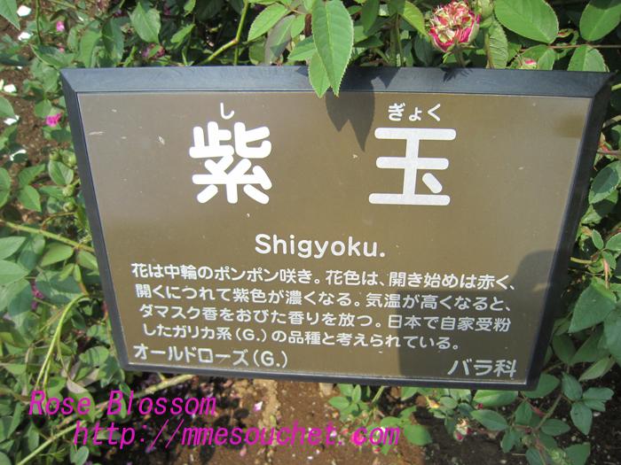 sigyokurose20100525.jpg