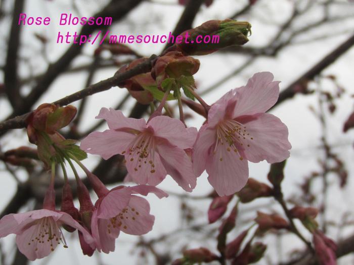 syuzenjisakura20110320.jpg