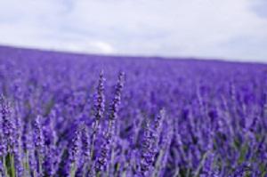 Lavender無料