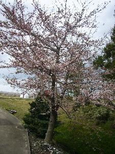 2010年 桜