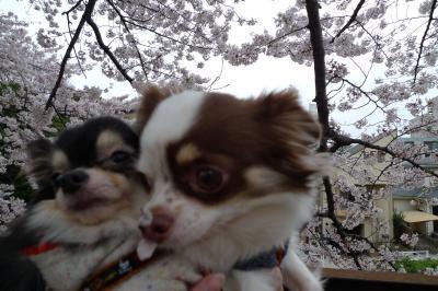 桜とわんず2
