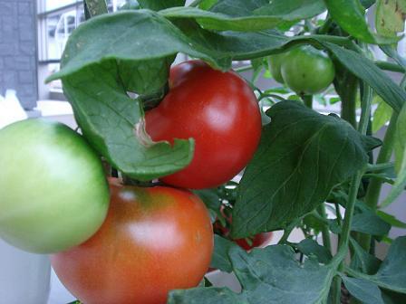 11 6 17トマト収穫