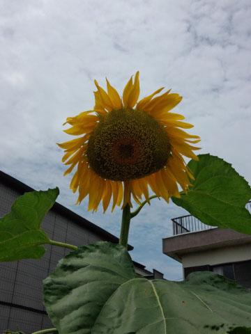 himawari_a_201307.jpg